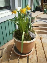 Påskliljor på altanen