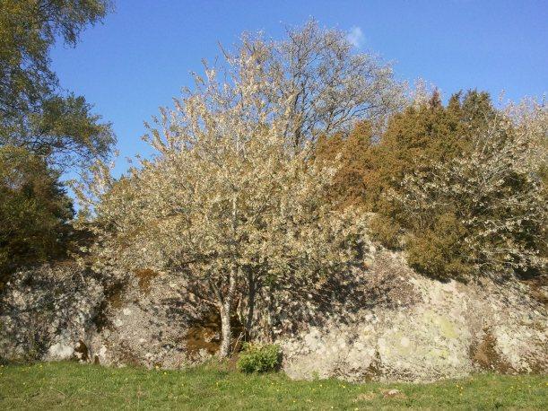 Vackert med blommande körsbärsträd!