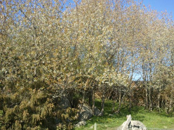 En skog av körsbärsträd uppe i kohagen