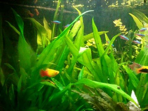 Kardinaltetror och några platyhonor är nya invånare i akvariet