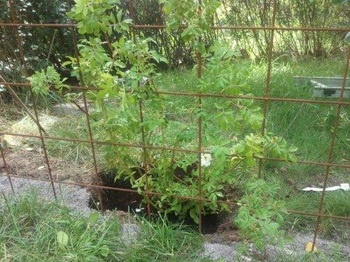 Honungsrosen planterad vid pergolan