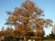 En vacker ek i höstfärger