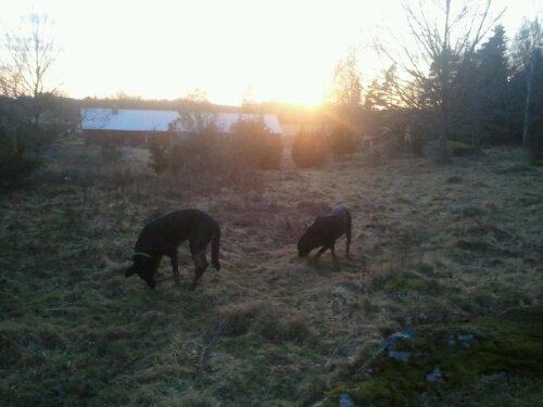 Kenzo och Chili letar godis i solnedgången