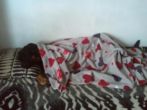 Trött och hängig Sigge dagen efter att vi hämtat hem honom