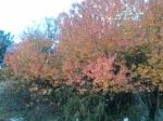 Körsbärsträden som i våras lyste vita lyser nu röd-gula