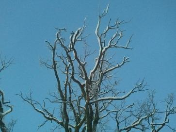 Snöklädda grenar är vackert