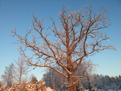 Eken i vintersol