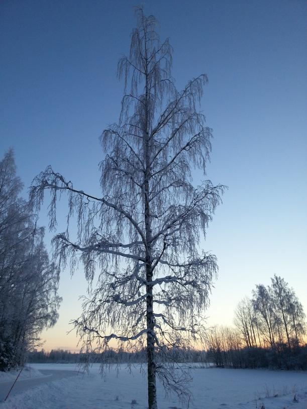 Alla träd blir otroligt vackra i den här rimfrosten