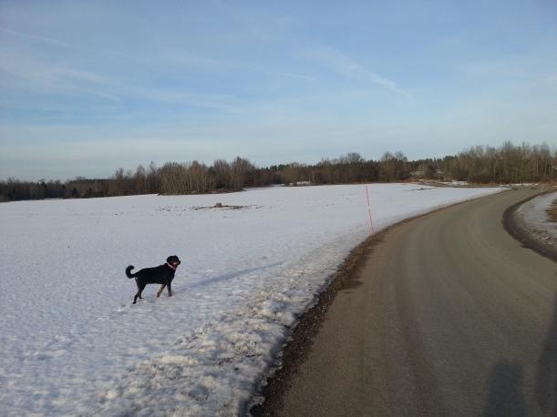Gari njuter av att springa på skaren på fälten i 8 plusgrader!