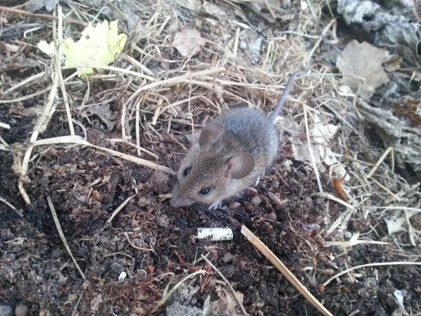 Räddade en stackars mus som Torsten fångat och höll på att ta med in....