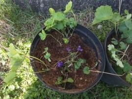 Flyttar lite violer och akleja