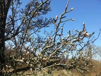 Päronträdet kommer nog blomma spektakulärt!
