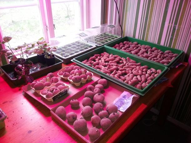 Det odlas för fullt... börjar bli lite väl trångt och jag som ska ha in flera sålådor till...!
