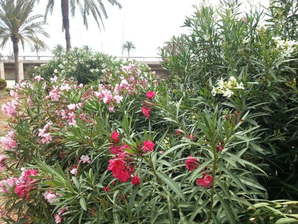 Det blommade nerium överallt!