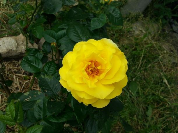 Rosen Lichtkönigin Lucia blommar på innergården