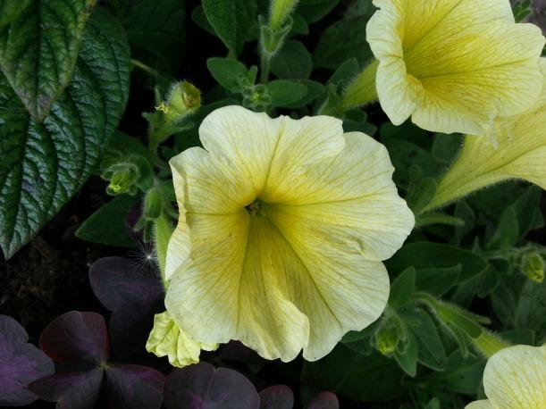 En underbar vaniljgul petunia