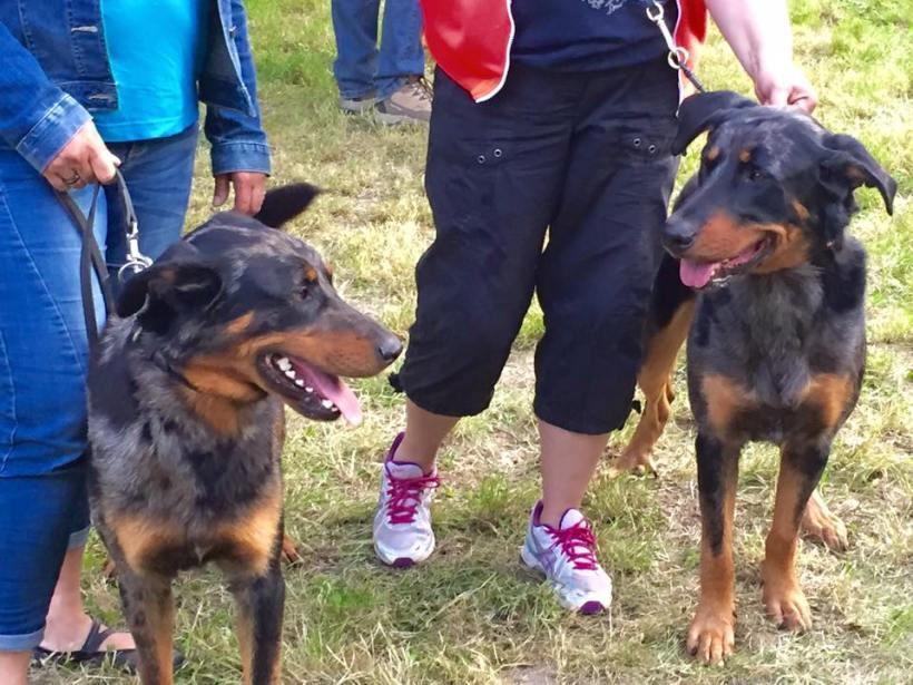 Inook och Indigo i stora ringen vid uppfödartävlingen. Foto Eva Lantz