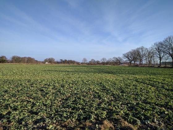 Gröna rapsfält och blå vårhimmel redan den 26 januari